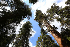 Sequoias at Mariposa Grove, Yosemite national park Stock Image