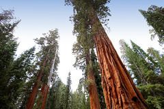 Sequoias at Mariposa Grove, Yosemite national park Royalty Free Stock Photography