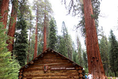 Sequoias at Mariposa Grove, Yosemite national park Stock Photo