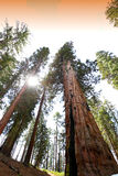 Sequoias at Mariposa Grove, Yosemite national park Stock Images