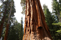 Sequoias at Mariposa Grove, Yosemite national park Stock Image