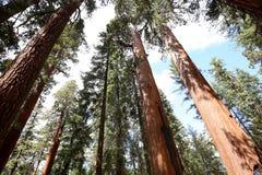 Sequoias at Mariposa Grove, Yosemite national park Royalty Free Stock Photos