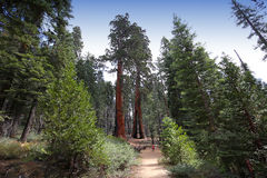 Sequoias at Mariposa Grove, Yosemite national park stock photography
