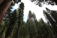 Sequoias at Mariposa Grove, Yosemite national park Royalty Free Stock Image