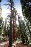 Sequoias at Mariposa Grove, Yosemite national park Royalty Free Stock Photography