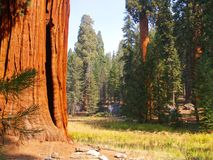 Sequoias by the meadow. Giant sequoias on the edge of a meadow in Sequoia National Park Royalty Free Stock Photography