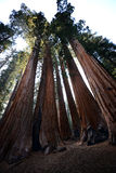 Sequoias Overwhelming in Size Puncture the Sky in a Sierra Afternoon Stock Photography