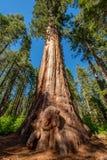 Sequoiaträd i Calaveras stor träddelstatspark Arkivfoto