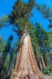 Sequoiaträd i sequoianationalparken, Kalifornien Arkivbild