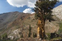 Sequoiaträd nära glaciärpasserandet - sequoianationalpark arkivbild