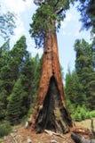 Sequoiaträd på jätte- skogmuseumtrailhead, USA Arkivbilder