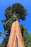 sequoiatrees Royaltyfri Foto