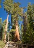Sequoie Fotografia Stock Libera da Diritti