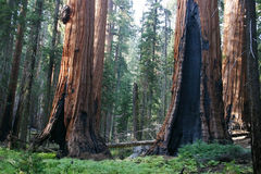 Sequoie Immagini Stock