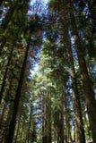 sequoie Fotografia Stock