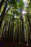 Sequoie alte Immagini Stock Libere da Diritti