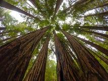 Sequoie del legno di Muir Fotografia Stock