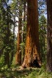 Sequoie giganti Fotografia Stock Libera da Diritti