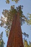 Sequoie giganti Immagini Stock