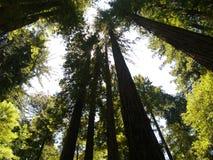 Sequoie giganti, California, U.S.A. Fotografia Stock Libera da Diritti