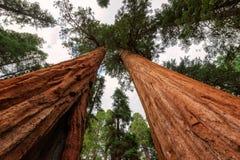 Sequoie giganti nel parco nazionale della sequoia in California fotografia stock