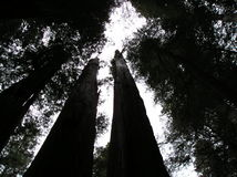 Sequoie giganti nella foresta dell'Oregon Immagine Stock