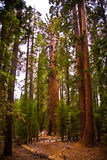 Sequoie nella bella sosta nazionale della sequoia Immagine Stock