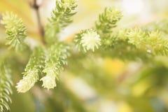 Sequoior lämnar tätt upp med blured tappningbakgrund Fotografering för Bildbyråer