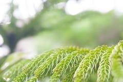 Sequoior lämnar tätt upp med blured tappningbakgrund Royaltyfria Foton
