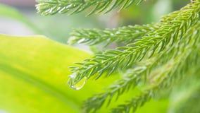 Sequoior lämnar tätt upp med blured tappningbakgrund Royaltyfri Foto