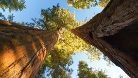 Sequoior underifrån Arkivbilder