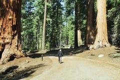 Sequoja. Sequoias in Yosemite National Park Stock Images