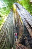 Sequoya. Sequoia royalty free stock image