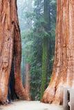 Sequoya Royalty Free Stock Photography