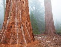 Sequoya Royalty Free Stock Image