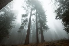 Sequoya. Sequoia forest in fog royalty free stock image