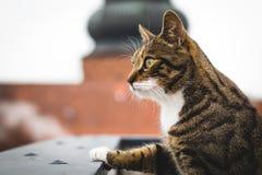 Ser den manliga katten för tigern över balustraden royaltyfri foto