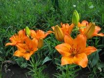 Ser den orange blomman för liljan mycket härlig i trädgården Arkivfoton