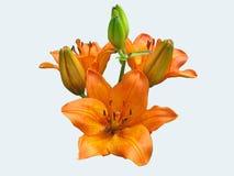 Ser den orange blomman för liljan mycket härlig på vit bakgrund Royaltyfri Bild