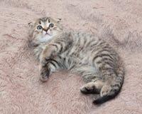 Ser det skotska vecket för den lilla strimmig kattkattungen fearfully upp arkivfoton