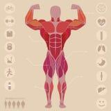 Ser humano, anatomía, músculos anteriores, deportes, médicos, vector Fotos de archivo libres de regalías