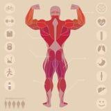Ser humano, anatomia, músculos, parte traseira, esportes, aptidão, médica, Foto de Stock Royalty Free