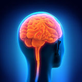 Ser humano Brain Anatomy Ilustração Stock