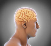 Ser humano Brain Anatomy Fotografia de Stock