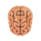 Ser humano Brain Anatomy Imagens de Stock
