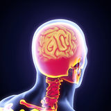 Ser humano Brain Anatomy Imágenes de archivo libres de regalías