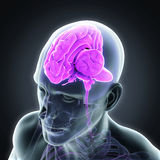 Ser humano Brain Anatomy Fotografia de Stock Royalty Free