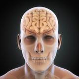 Ser humano Brain Anatomy Imagem de Stock Royalty Free