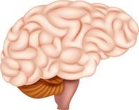 Ser humano Brain Anatomy ilustração royalty free