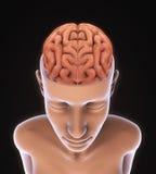 Ser humano Brain Anatomy Foto de Stock Royalty Free